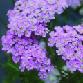 Achillea millefolium Wonderful Wampee (tutti-frutti series) (1lt)