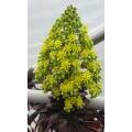 Aeonium arboreum Atropurpureum (1lt)