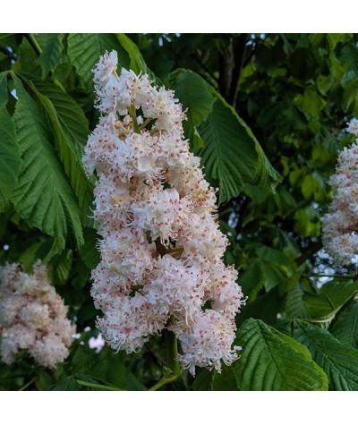 Aesculus hippocastanum Baumannii (13.5lt)