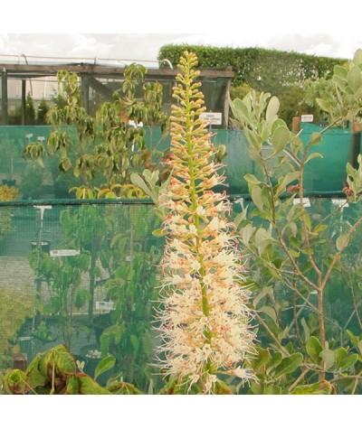 Aesculus parviflora (10lt)