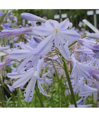 Agapanthus Beeches Blue (3lt)