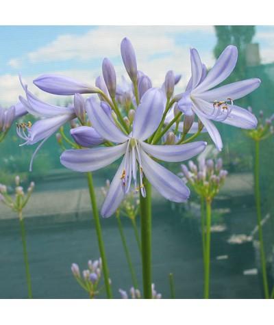 Agapanthus Gayles Lilac (2lt)