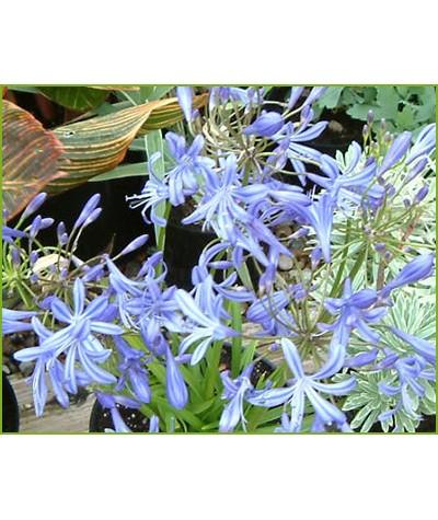 Agapanthus New Blue (2lt)