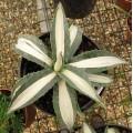 Agave americana Mediopicta Alba (2lt)