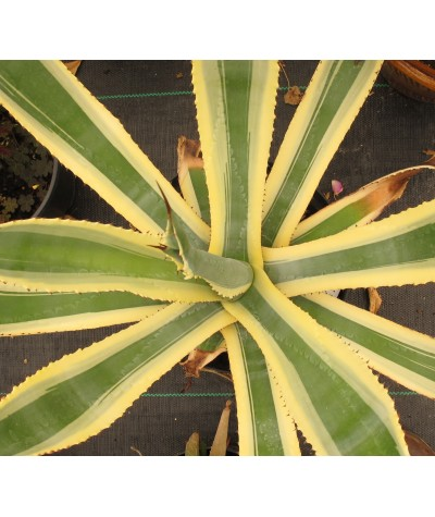 Agave variegata (90lt)