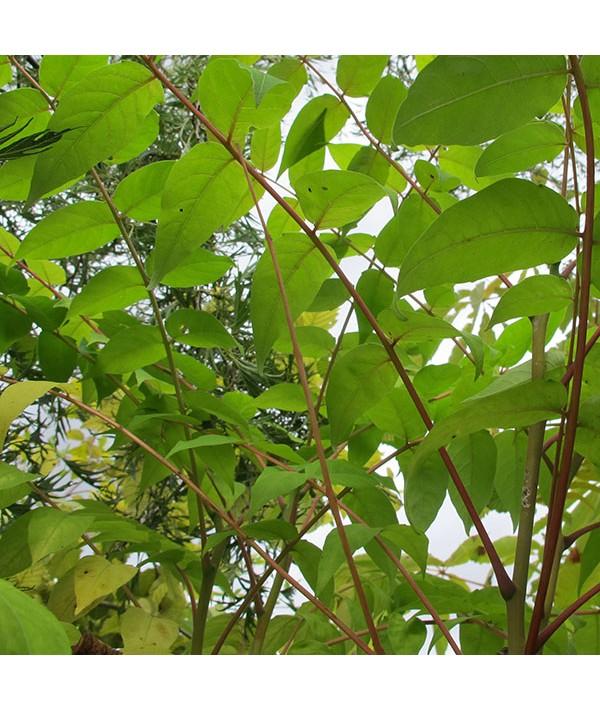 Ailanthus altissima (17.5lt)