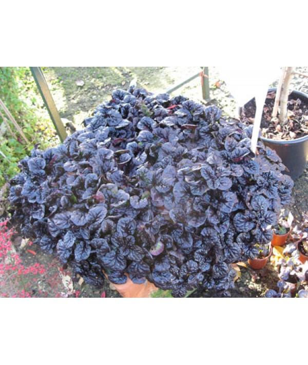 Ajuga reptans Black Scallop (1lt)