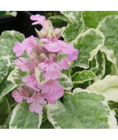 Ajuga reptans Pink Lightening (1lt)