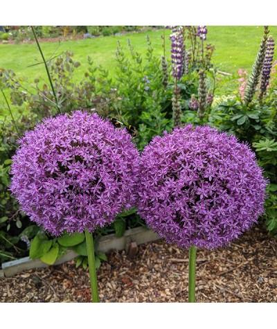 Allium Ambassador (1 x bulb)