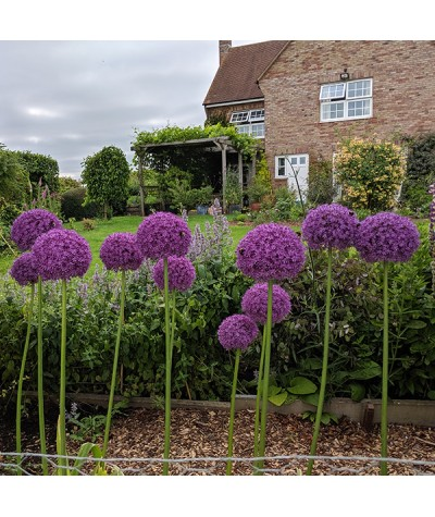 Allium Ambassador (2lt)