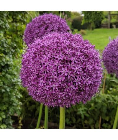 Allium Ambassador (1 x bulb 20/24)