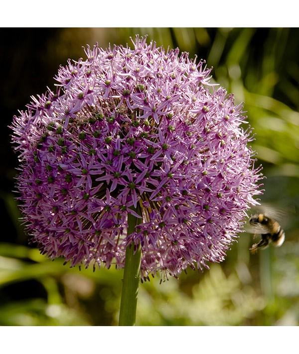 Allium barszczewskii Beau Regard (2lt)