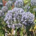 Allium caesium (0.8lt)