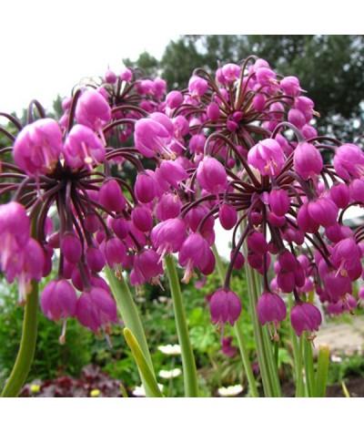 Allium cernuum (1lt)