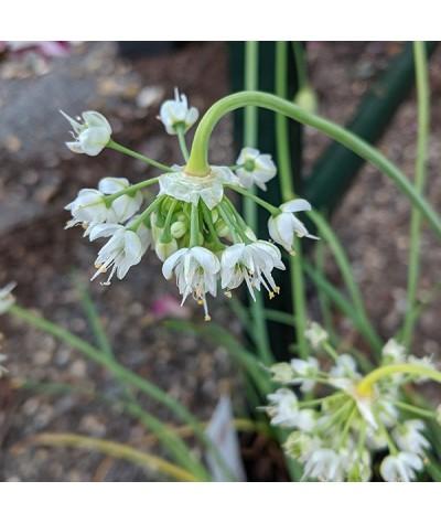 Allium cernuum White Dwarf (1lt)