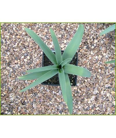 Allium christophii (1lt)