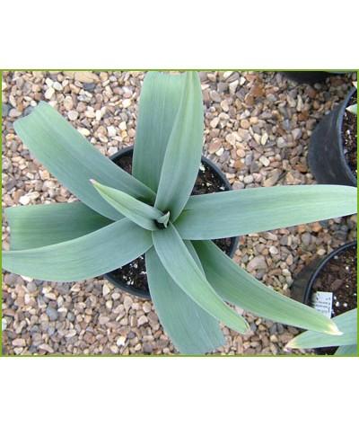Allium giganteum (2lt)