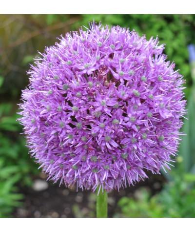 Allium Globemaster                                                                      (2lt)