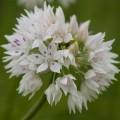 Allium Graceful Beauty (1lt)
