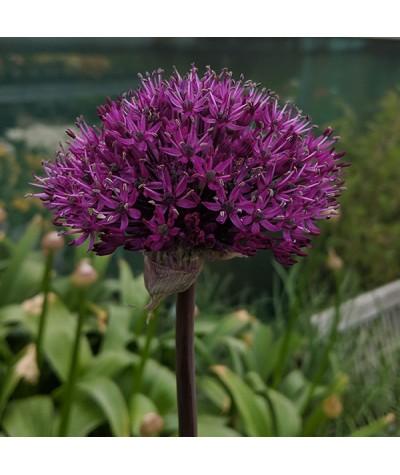 Allium hollandicum Purple Sensation (1lt)