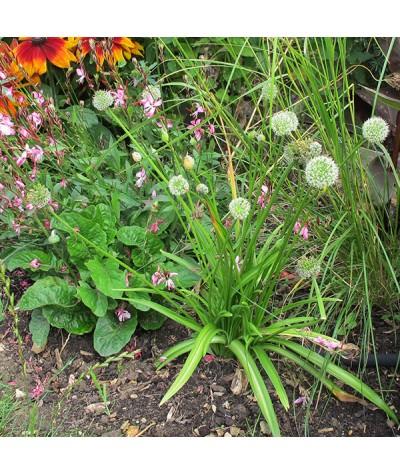 Allium hookeri Zorami (1lt)
