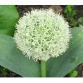 Allium karataviense Ivory Queen (1lt)