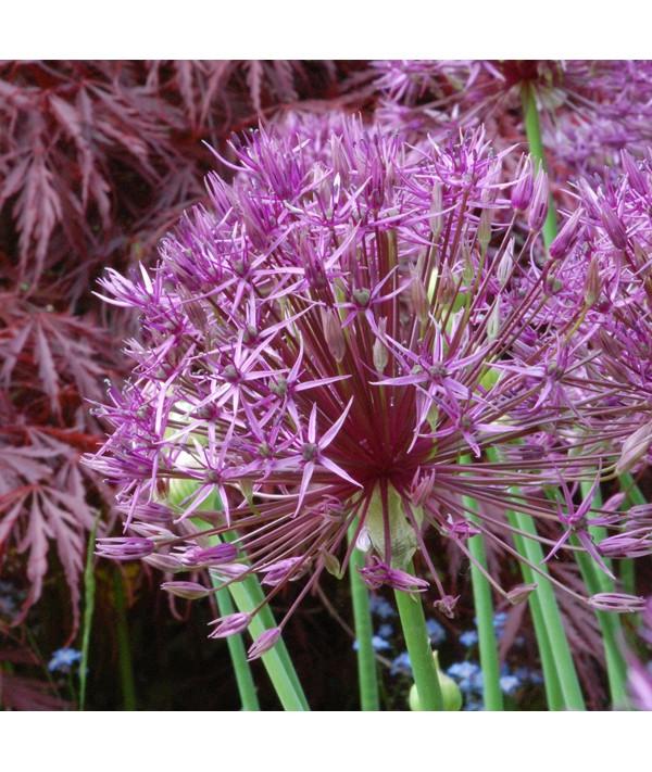 Allium Purple Rain (1lt)