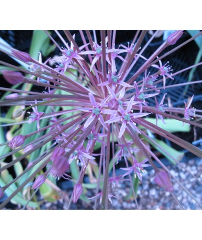 Allium schubertii (1lt)