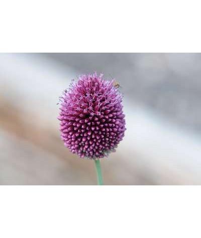 Allium sphaerocephalon (1lt)
