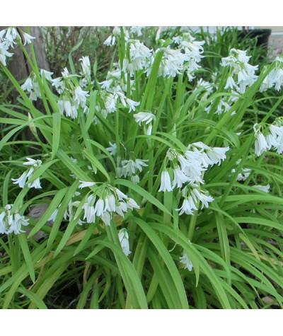 Allium triquetrum  (1lt)