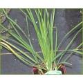 Allium tuberosum - Garlic chives (0.8lt)