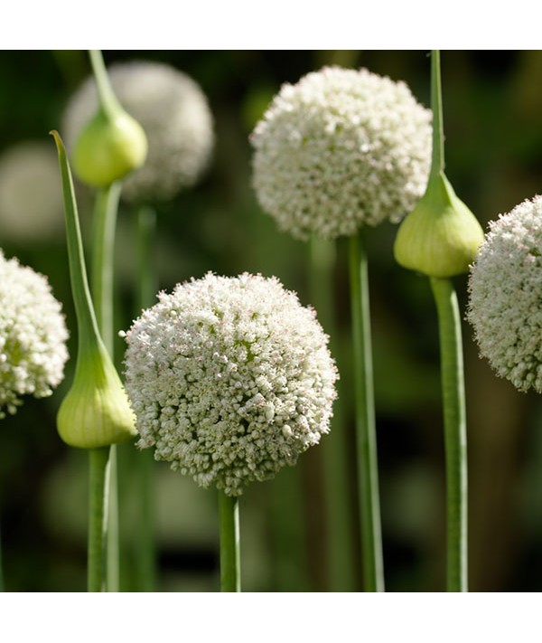 Allium White Cloud (1lt)