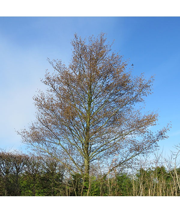 Alnus cordata (bare root 60-80cm)