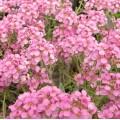 Alyssum spinosum Roseum (0.75lt)