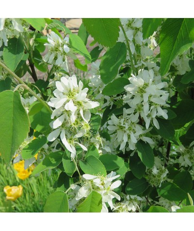Amelanchier alnifolia Obelisk (17.5lt)