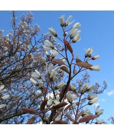 Amelanchier x grandiflora Ballerina (3lt)