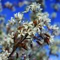 Amelanchier x grandiflora Robin Hill (13.5lt)