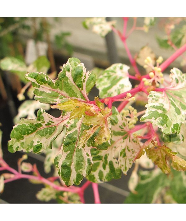 Ampelopsis glandulosa Var. Brevipedunculata Elegans (3lt)