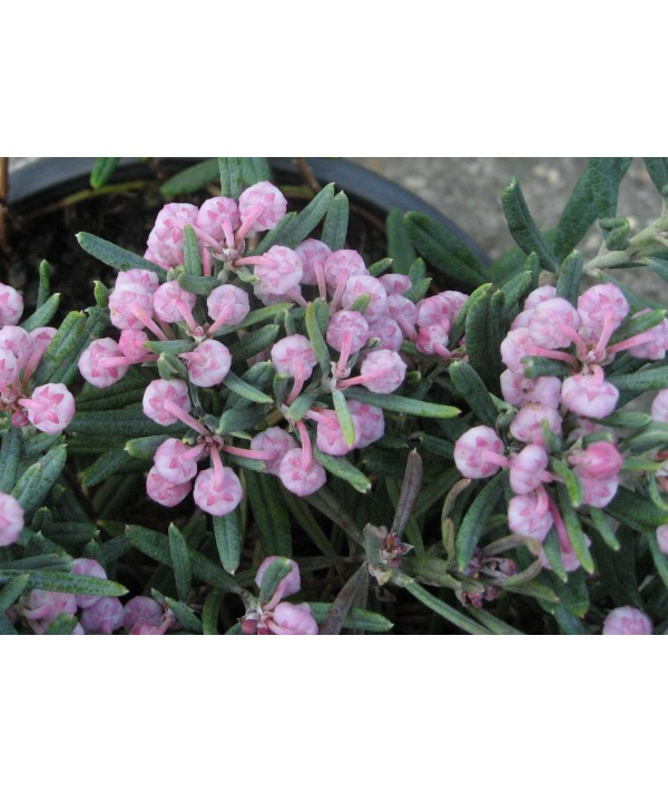Andromeda polifolia Blue Ice (3lt)