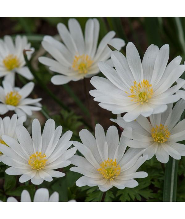 Anemone blanda White Splendour (1.5lt)