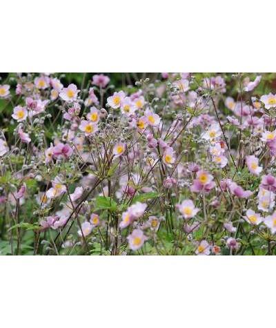 Anemone hupehensis japonica Prinz Heinrich (1lt)