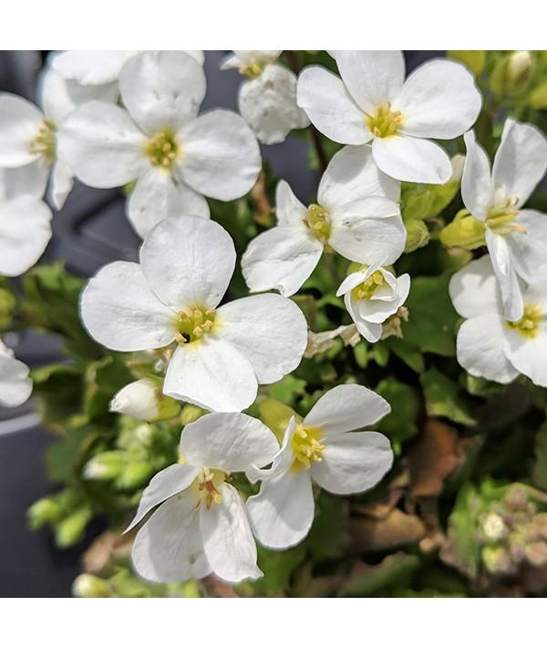 Arabis alpina caucasica Alabaster (1lt)