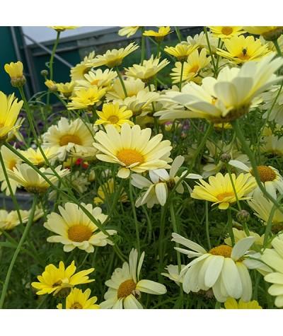 Argyranthemum Jamaica Promise (1lt)