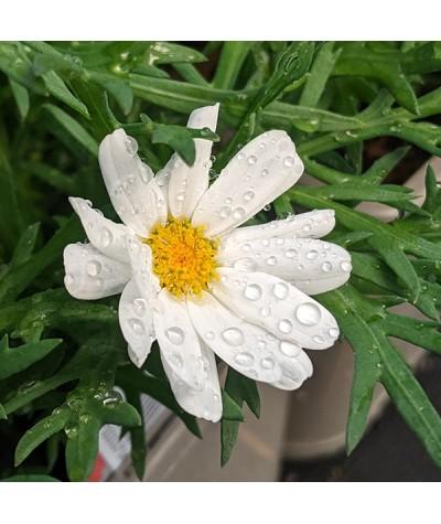 Argyranthemum White Mocha (1lt)