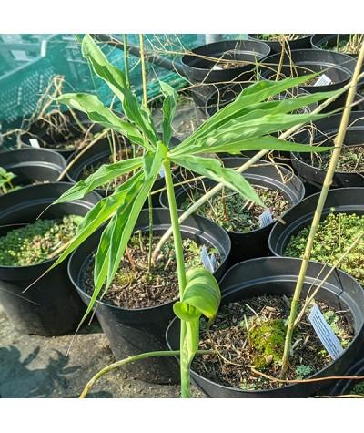 Arisaema consanguineum (1lt)