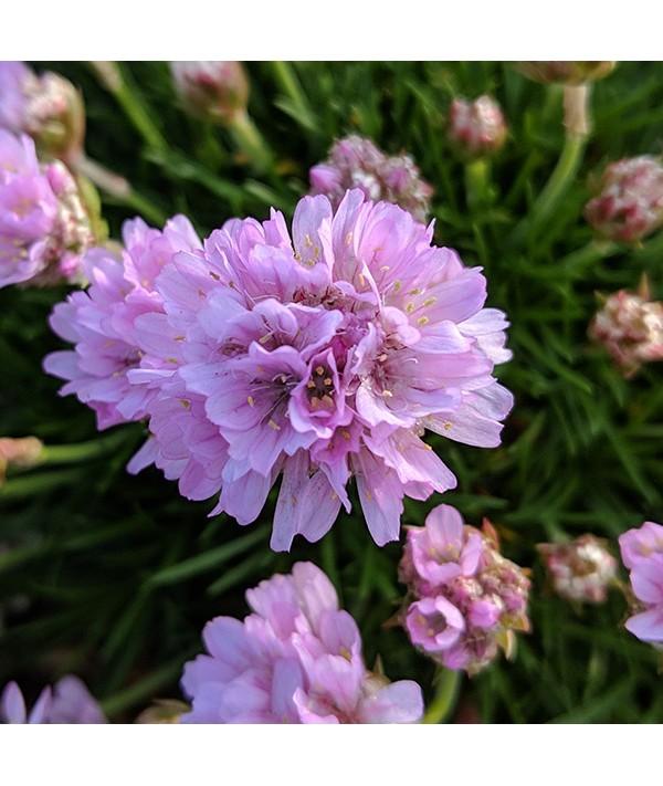 Armeria juniperifolia (1lt)