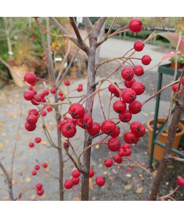Aronia x prunifolia Brilliant (3lt)