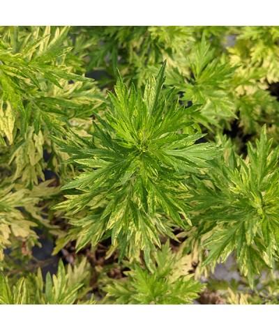 Artemisia vulgaris variegata (2lt)