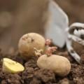 Potato Maris Peer (2.5kg)