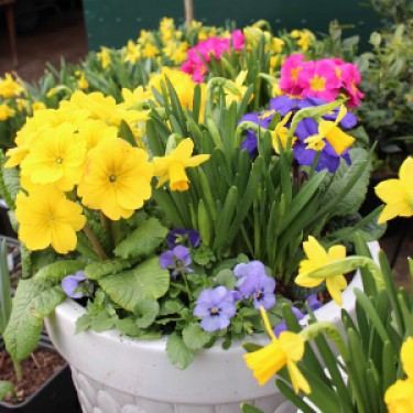 Plants for Spring Containers